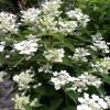 hydrangea paniculata dharuma