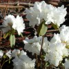 rhododendron april snow