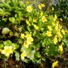 waldsteinia sibirica