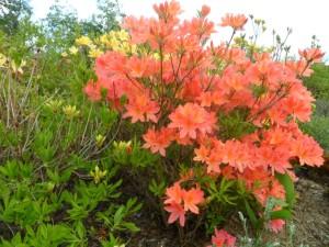 rhododendron japonicum 1