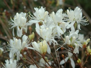 rhododendron canadense v album