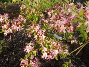 rhododendron viscosum 1