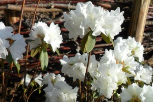 rhododendron april snow 1