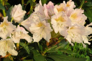 rhododendron cunninghams white 2