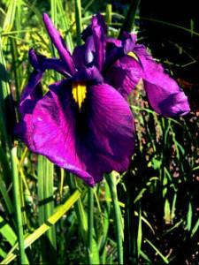 iris ensata vassili alfjorov